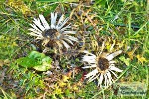 Silberdiesteln blühen im Herbst auf unseren Bergwiesen